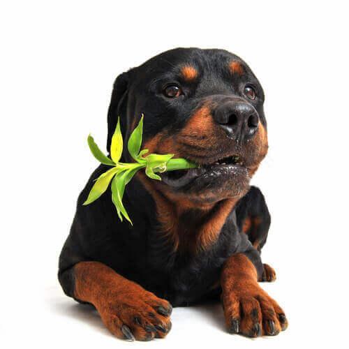 Kamille - Hund kaut auf Bambus