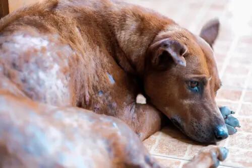 Räude bei Hunden