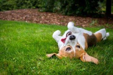 Warum wälzen sich Hunde gerne im Gras?