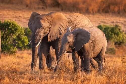 Wilde Elefanten: Interessante Fakten über ihr Verhalten