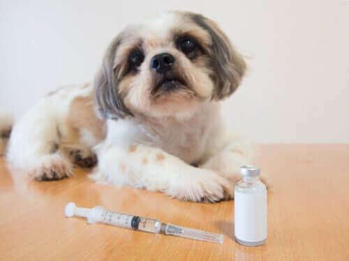 Diabetes - Hund vor Insulinspritze