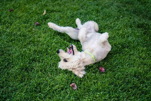 wälzen sich im Gras