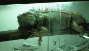 Reptilien - Leguan