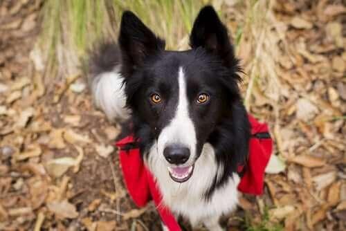 Trekking mit Hunden - Border Collie