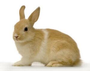 Vestibular-Syndrom - braunes Kaninchen