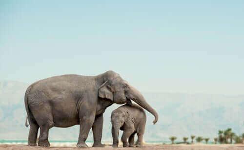 Wilde Elefanten - Mutter mit Jungtier