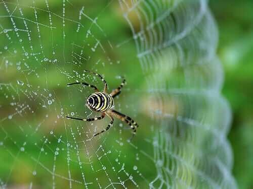 Gerald Durrell - Spinne im Netz