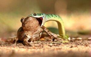 Reptilien - Schlange frisst einen Frosch
