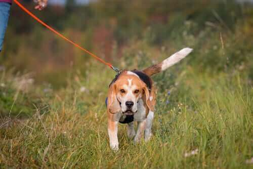 Trekking mit Hunden - Beagle