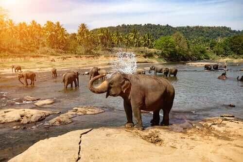 Wilde Elefanten - beim Baden