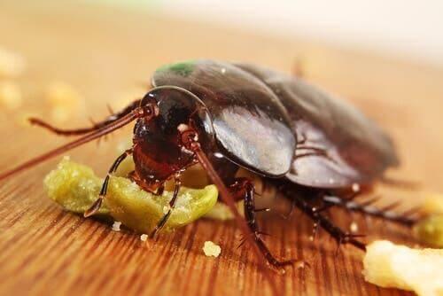 Kakerlaken - sind Allesfresser