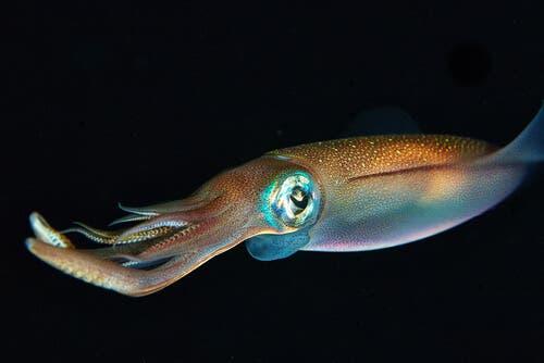 Tintenfisch - Kalmar