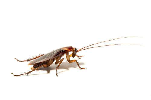 Kakerlaken - auf weißem Untergrund