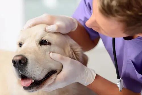 Augeninfektion bei Hunden untersuchen