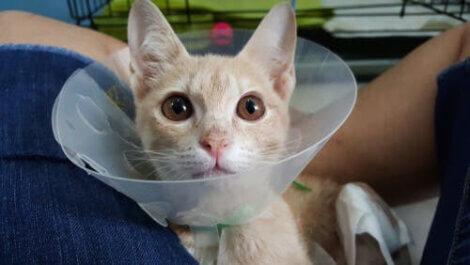 Schorf bei Katzen - Halskrause