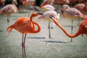 Konkurrenz - Flamingos