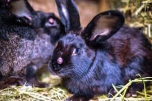 Konkurrenz unter Pflanzenfressern - Kaninchen