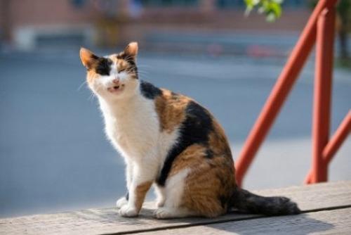 Chronischer Husten bei Katzen