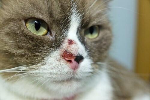 Hautkrebs bei Katzen: Ursachen und Behandlung