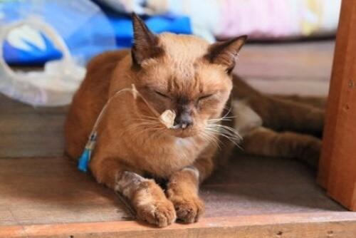 Hautkrebs bei Katzen