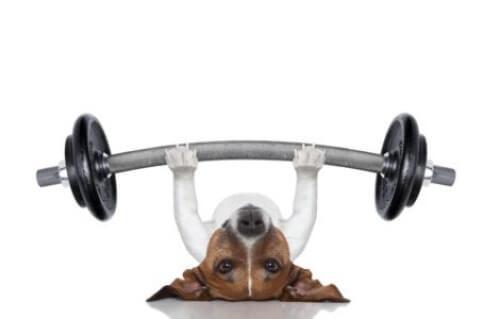 Sportliche Aktivitäten: Hund beim Gewichtheben