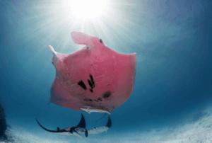 Der einzig bekannte rosa Mantarochen der Welt wurde im Jahr 2015 zum ersten Mal gesehen