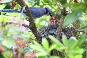 Blauhäher sind gemeinsam am Nestbau und dem Aufziehen der Jungen beteiligt.