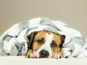 Eine Erkältung bei Hunden beeinträchtigt die Atemwege
