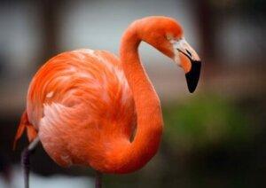 Rosa Flamingos erhalten ihre Farbe durch den Verzehr kleiner Krebstiere.