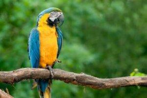 Sechs von 13 Ara-Arten sind vom Aussterben bedroht