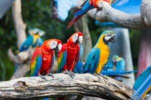 Der Ara gehört zu den Eigentlichen Papageien