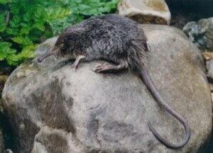 Der Pyrenäen-Desman (Galemys pyrenaicus) ähnelt der Spitzmaus, gehört aber tatsächlich zur Familie der Maulwürfe