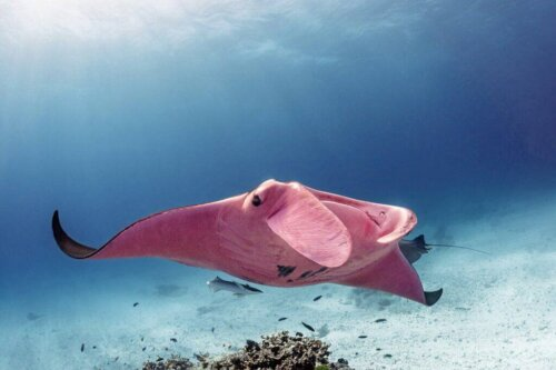 Der rosa Mantarochen des Great Barrier Reef