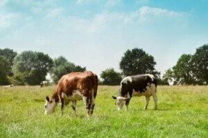 Kühe sind der wichtigste Reservoirwirt für das zoonotische STEC