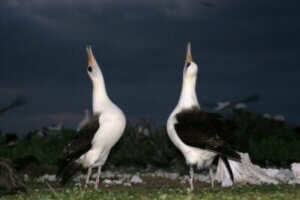 Während der Balz führen die Männchen einiger Vogelarten Tänze mit unterschiedlichen Bewegungen, Liedern und Rufen aus