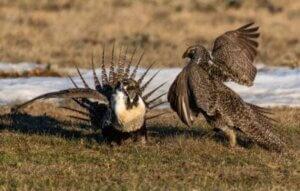 Leks sind typisch für Vögel, obwohl wir Beispiele für diese Art der sexuellen Selektion auch