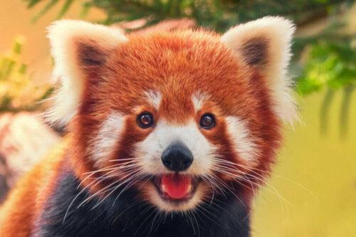 Der Rote Panda und sein Verhalten