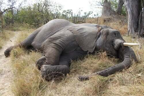 100 Elefanten in Botswana getötet