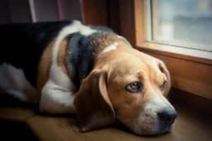 Hund Schmerzen - trauriger Blick