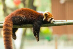 Der Rote Panda - schläft
