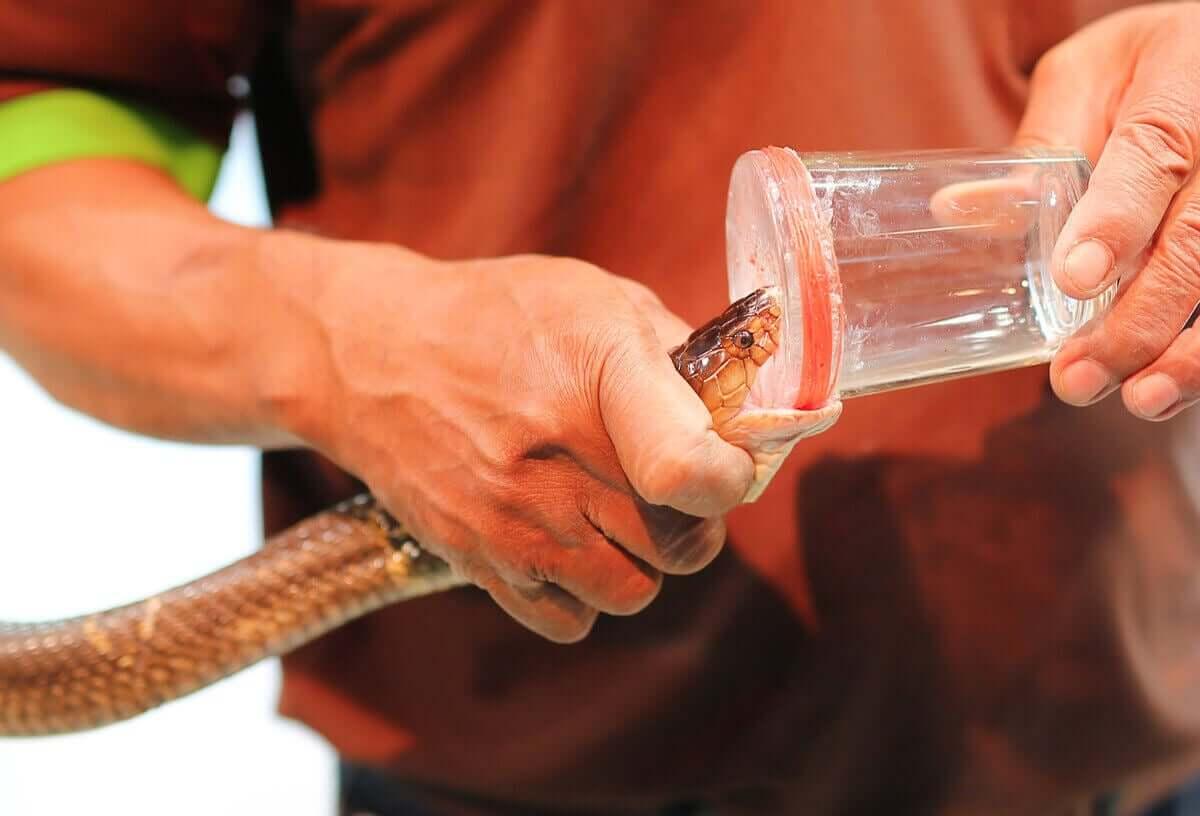Schlangengift - Ernte