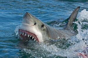 Haie - Hai mit geöffnetem Maul