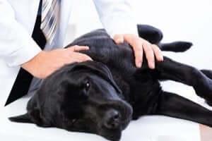 Hund Schmerzen - beim Tierarzt