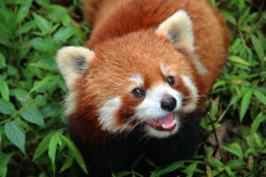 Der Rote Panda - schaut in die Kamera