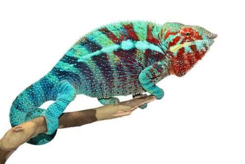 Chamäleons: Warum ändern sie ihre Farbe?