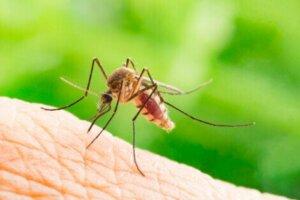 Phlebotomus ist eine Gattung von Sandfliegen, die Überträger der Leishmaniose sind