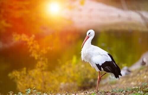 Weißstörche: Interessante Fakten rund um das Zugverhalten dieser Vögel