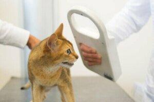 Mikrochips für Katzen sind einen kostengünstige Option