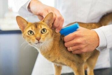 Mikrochips für Katzen: Sind sie vorgeschrieben?