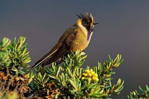Kolibris: Blaubart Helmkolibri